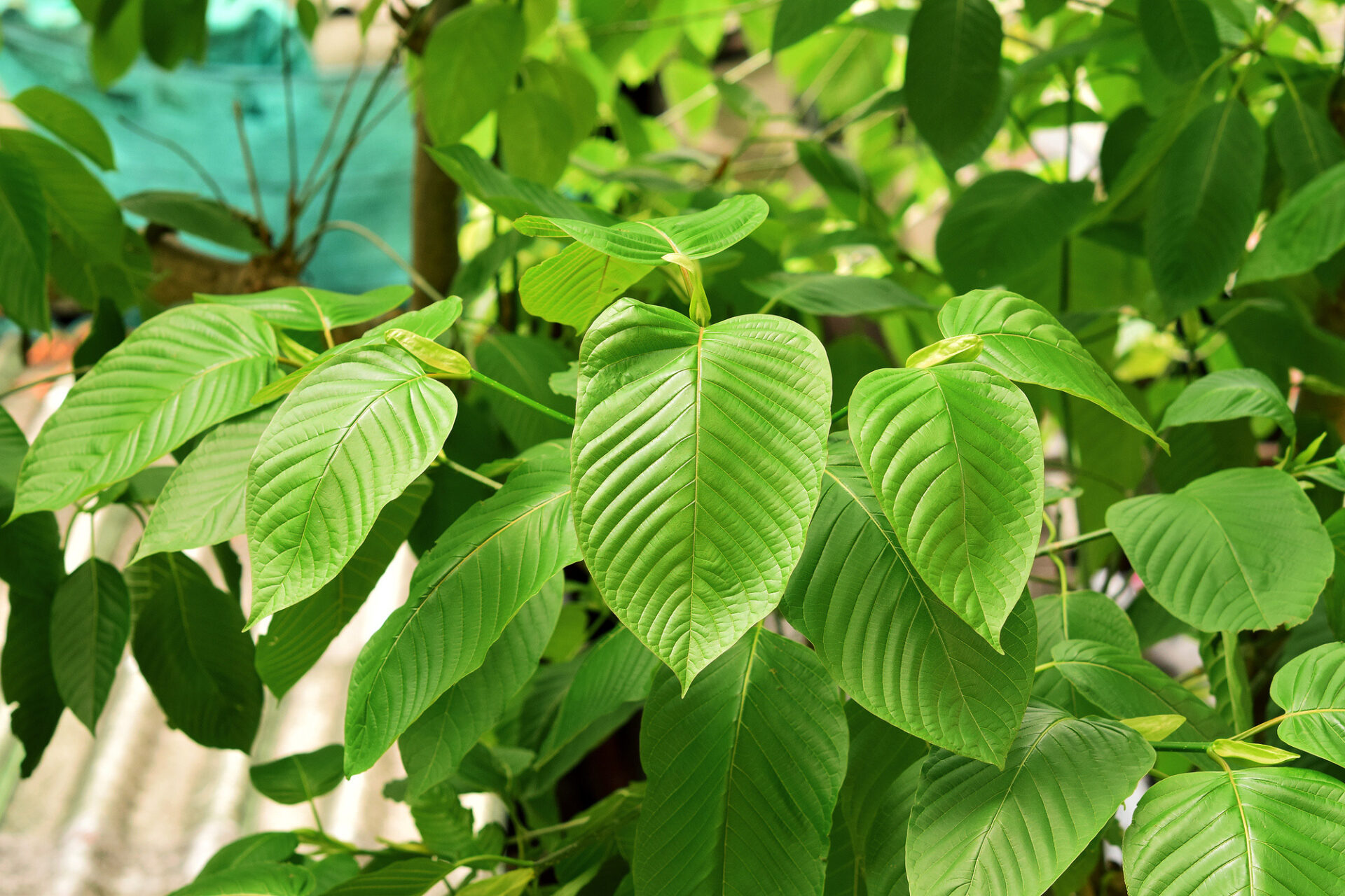 What is Red Borneo Kratom and How Can It Help Me?