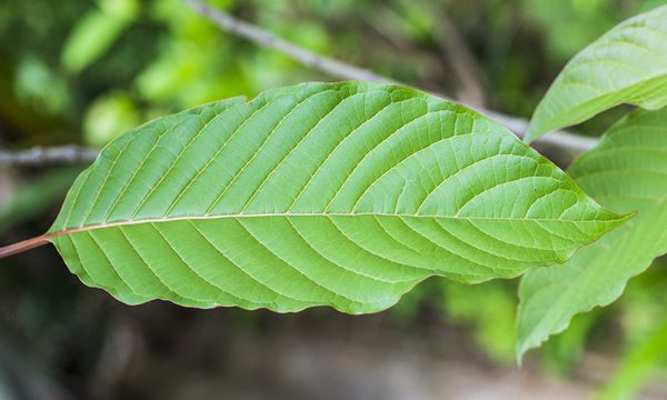 Is Kratom Legal